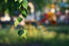 桦树分支 库存照片