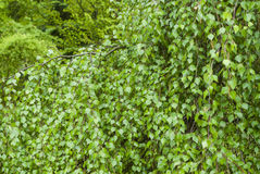桦树分支 免版税库存照片