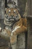 桦树分行休息的老虎 免版税库存图片