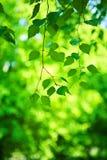 桦树分行新鲜的绿色结构树 免版税库存照片