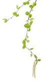 桦树分行结构树 免版税图库摄影