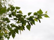桦树分行 免版税库存图片