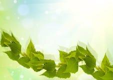 桦树分行 图库摄影