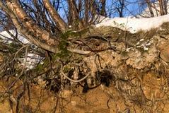 桦树北部根 库存图片