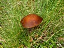 桦树卡累利阿人的毛利蘑菇 免版税库存图片
