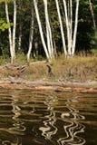 桦树反射 库存图片