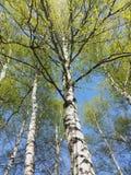 桦树可以,看对天空 库存图片