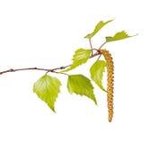 桦树叶子和在白色隔绝的花柔荑花 免版税库存照片