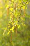 桦树叶子和柔夷花序 免版税库存图片