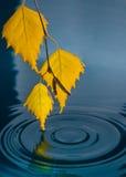 桦树叶子在水的与从雨珠的波纹 库存图片