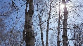 桦树叶子绿色树丛可以 背景蓝色云彩调遣草绿色本质天空空白小束 晴朗日的春天 轻风,动态场面 股票视频