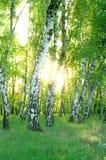 桦树叶子绿色树丛可以 库存图片