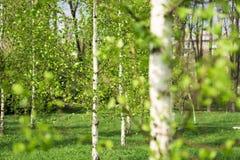 桦树叶子绿色树丛可以 库存照片