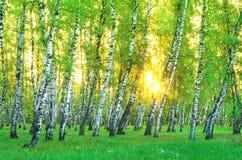 桦树叶子绿色树丛可以 在美丽的鸟云彩之上颜色及早飞行金子早晨本质宜人的平静的反映上升海运一些星期日 图库摄影