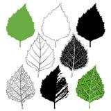 桦树叶子,设计的被隔绝的元素在白色背景 库存照片
