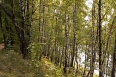 桦树叶子绿色树丛可以 免版税库存图片