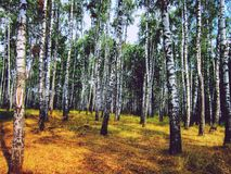 桦树叶子绿色树丛可以 免版税库存照片