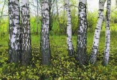 桦树叶子绿色树丛可以 图库摄影