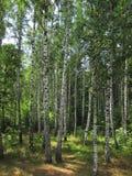 桦树叶子绿色树丛可以 免版税图库摄影