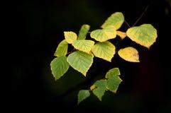 桦树叶子 免版税库存照片