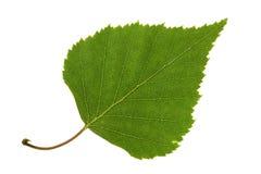 桦树叶子 免版税库存图片