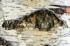 桦树吠声纹理 免版税图库摄影