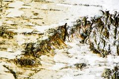 桦树吠声纹理 免版税库存图片