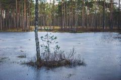 桦树和一棵杉木在冻湖中间 免版税图库摄影