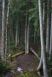 桦树和云杉的树干在森林小山 免版税库存图片