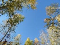 桦树和天空 免版税库存照片