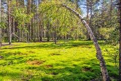 桦树和木头在森林陷入沼泽 免版税库存图片