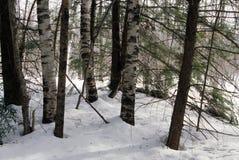 桦树和杉木在雪 库存照片