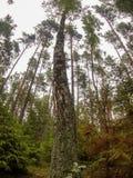 桦树和杉木森林 免版税库存图片
