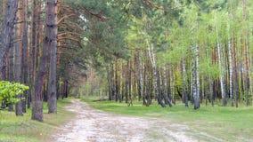 桦树和杉木森林 图库摄影