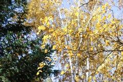 桦树和杉木的分支 库存照片