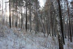 桦树和杉木 库存图片