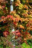 桦树和槭树 免版税库存图片