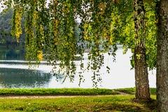 桦树和湖在公园 免版税库存照片