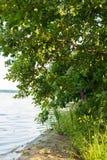桦树和红色花在水附近 免版税库存图片