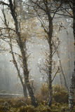 桦树和网在Abernethy森林在苏格兰 免版税图库摄影