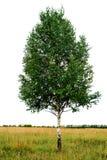 桦树唯一结构树 免版税库存图片