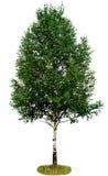 桦树唯一结构树 库存照片