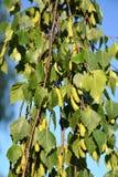 桦树啜泣& x28; warty& x29;& x28; Betula Pendula Roth & x29; 与绿色耳环和叶子的分支 免版税库存照片