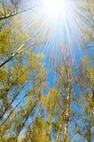 桦树圈子春天 免版税库存照片