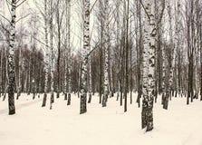 桦树在公园在冬天 库存照片