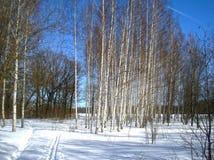 桦树在公园 库存照片