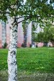 桦树在公园 免版税库存图片