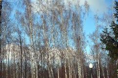 桦树在公园 库存图片