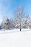 桦树在冬天,乌拉尔,俄罗斯的广角射击 库存照片