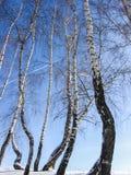 桦树在冬天 库存图片